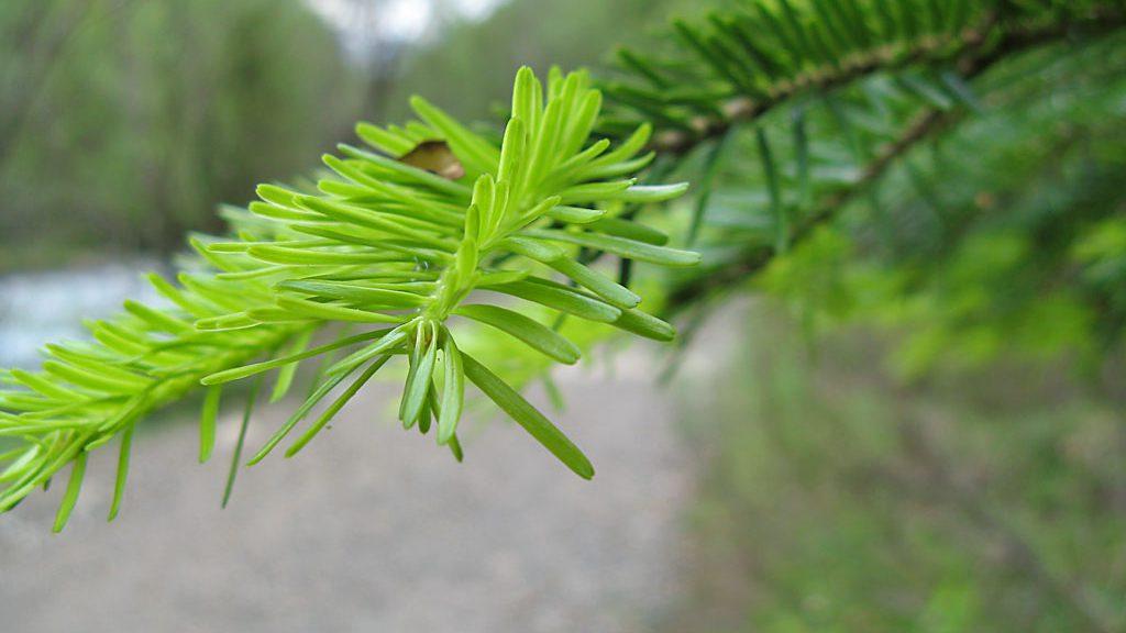 Brotes verdes (aquí sí), en Ordesa