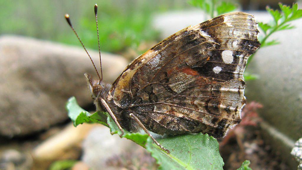 Mariposa (Ordesa)