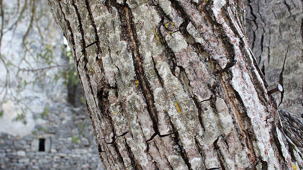 Árbol de Jánovas